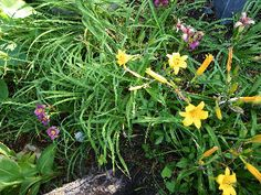 daylillys