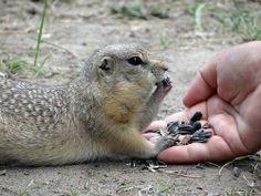 Prairie Dog just munchin and chillin