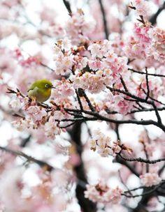 薄いピンク色の花を咲かせたヒカンザクラとメジロ
