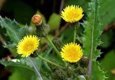 10 Healing Weeds That May Grow In your Backyard -PositiveMed | Positive Vibrations in Health
