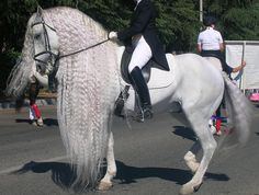 White beauty of Horse world! See this ever? Andalusian Horse, Spain.