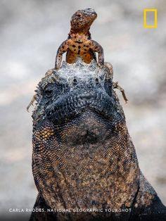 Smithsonian Photo Contest, Marine Iguana, Concours Photo, Galapagos Islands, Wildlife Nature, Reptiles And Amphibians, Stunningly Beautiful, Puppies, Nature