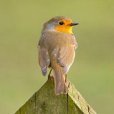 Robin #wildlife #photography #birds #bird #robin #wild
