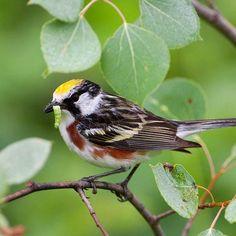 Blackburnian warbler, Chestnut-sided Warbler, blackpoll warbler, black-throated blue-winged warbler, Wilson's warbler, yellow
