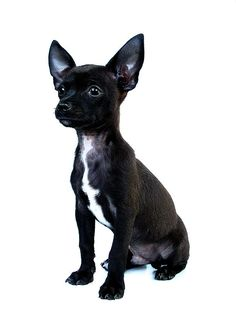 Shop Black Chihuahua puppy Ceramic Tile created by prophoto. Black Chihuahua, Cute Chihuahua, Chihuahua Puppies, Chihuahuas, Kairo, Cat Sitting, Dog Behavior, Dog Photography, Doge
