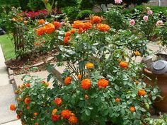 If I didn't think I would kill it, I would love to have an orange rose bush.