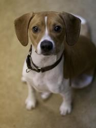 #MASSACHUSETTS ~ Baxter is a handsome and active 1 year old beagle who was surrendered due to the previous owner was no longer able to care for him. He likes to play with balls, plush toys, and squeaky toys. He would be best in a home with no small children or cats. #Adopt him at the Animal Rescue League of Boston