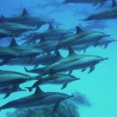 Clipperton Island: A Favorite Among Dolphins. Details about diving in the 87 degree Clipperton Island water.