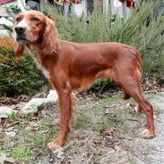 230 Best Golden Retriever Dogs For Adoption Images Animal Shelter