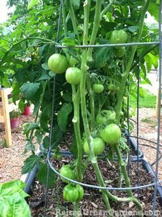 images  staking tomatoes  pinterest tomato
