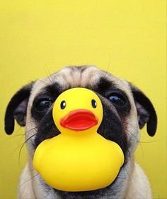 Pug and a Duck - I'm ready for my bath Madame.