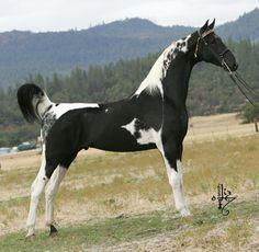 Black and White Tobiano