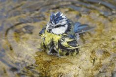 Badende Blaumeise (Cyanistes caeruleus)                              …