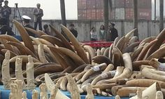 Officials in Guangzhou crushed 6.1 tons of confiscated ivory tusks and carvings.  Photograph: WildAid