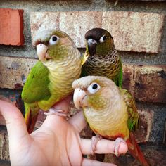 My beautiful green cheek conures! By: Annie Gavin #conure #parrot