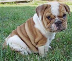 anim, old english, bulldog puppies, dog lovers, cutest dogs, dream, english bulldogs, future babies, new puppy