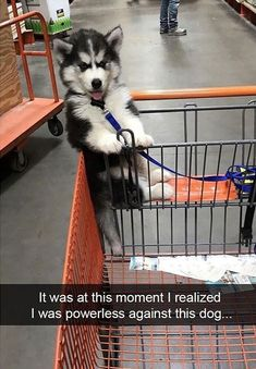 The day I lost all control in Home Depot.sure it& caught on their video security cameras & Funny Husky Meme, Dog Memes, Funny Dogs, 9gag Funny, Memes Humor, Funny Memes, Siberian Husky Puppies, Husky Puppy, Siberian Huskies