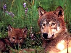 Stop the Wolf Killing Frenzy in Wisconsin - Demand Emergency Pro - In Defense of Animals Wolf Photos, Wolf Pictures, Animal Pictures, Wolf Husky, Wolf Pup, Beautiful Creatures, Animals Beautiful, Cute Animals, Wild Animals