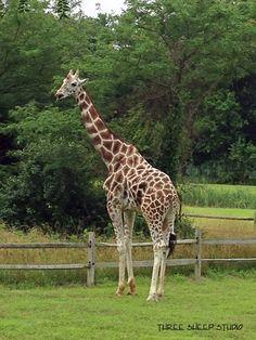 Giraffe At Cape May Zoo, New Jersey