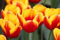 Yellow and red tulips Keukenhof The by LydiaVideiraLight on Etsy