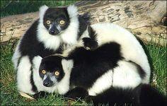 Black-And-White Ruffed Lemur   Black and white ruffed Lemurs