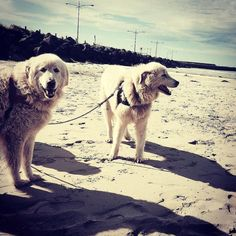 #Repost @kimseeds  Eudy and Tula #oddballmovie #destinationwarrnambool #destinationaustralia #love3280 @warrnamboolpenguins  #Warrnambool  #middleisland #dogs3280 by destinationwarrnambool