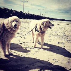 #Repost @kimseeds  Eudy and Tula #oddballmovie #destinationwarrnambool #destinationaustralia #love3280 @warrnamboolpenguins  #Warrnambool  #middleisland #dogs3280 by destinationwarrnambool