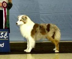 "Red Merle Australian Shepherd named ""North"""