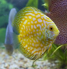Discus Tank, Discus Aquarium, Tropical Fish Aquarium, Discus Fish, Freshwater Aquarium Fish, Aquarium Fish Tank, Betta Fish, Acara Disco, Aquascaping