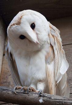 Barn Owl.