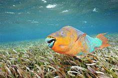(© Brian J. Skerry/National Geographic) Peixe-papagaio multicolorido nada na Reserva Hol Chan Marine, em Belize.
