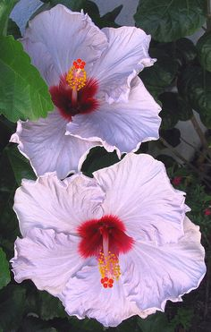 (•ॢ◡-ॢ)                                                 Hibiscus