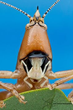 Palmetto conehead - Belocephalus sabalis. Photography by Colin Hutton