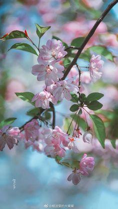 Wallpaper Nature Flowers, Flowery Wallpaper, Beautiful Flowers Wallpapers, Flower Phone Wallpaper, Scenery Wallpaper, Pretty Wallpapers, Cherry Blooms, Cherry Flower, Blossom Flower