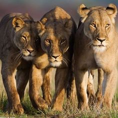 To the real royalties and queens 👑🦁. They are beautiful, fierce, loyal and caring. Via @wildaid #Repost @wildaid ・・・ For all the women out walking today - March with pride and be fierce! Photo by Chris Fallows #pride #lions #savehabitat #savelions