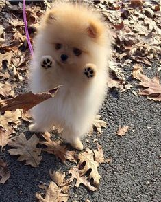 Adorable Little Baby Pomeranian Puppy having fun with the Autumn Leaves - Animals ~~Group Board - Cute Little Animals, Cute Funny Animals, Funny Dogs, Adorable Baby Animals, Cute Baby Dogs, Cute Small Dogs, Cutest Animals, Baby Pomeranian, Micro Teacup Pomeranian