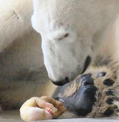 Amazing - just after birth of a polar bear, so very small. Phot by Julio Gil-morte Arroyo. *THIS is a baby polar bear . NOT the one people keep pinning with black paws that is a stuffed toy! Beautiful Creatures, Animals Beautiful, Baby Animals, Cute Animals, Wild Animals, Baby Polar Bears, Polar Cub, Tier Fotos, Mundo Animal