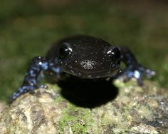 Blue spotted salamander. I really like this photo!