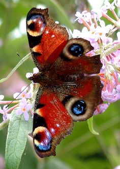•♥•✿ڿڰۣ(̆̃̃•Aussiegirl  #Creation Beautiful Peacock Butterfly