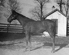 Racehorse Man o' War as a yearling in Barrel Racing Horses, Horse Racing, All The Pretty Horses, Beautiful Horses, The Great Race, Thoroughbred Horse, Clydesdale Horses, Breyer Horses, Man Of War