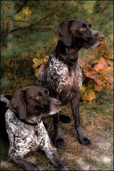 #GSP #GermanShorthairedPointer #Braque allemand - hunting dogs / doing what they love best