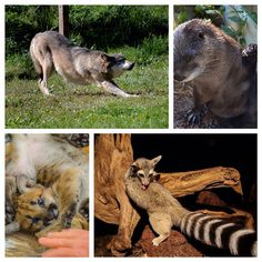 Did you know September is National Yoga Month? Here at the Zoo our grey wolves, ringtails, river otters and even mountain lion cub got in the spirit all month long! #HersheyPA