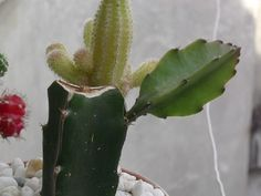 Multiplicación por Injerto de Cactus II