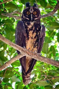 Stygian Owl Asio stygius by Izaias Miranda Junior on 500px