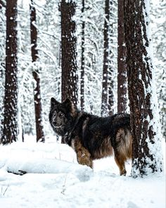 Wolf Poses, Arctic Wolf, Wolf Pictures, Wild Creatures, Cute Animals, Wild Animals, Wolf Tattoos, Akita, Beautiful Dogs
