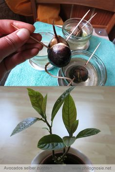 Avocados lassen sich ganz einfach pflanzen bzw. eigenhändig ziehen. Damit der Avocadobaum schön gedeiht und gut aussieht, sollte man einige Tricks kennen.