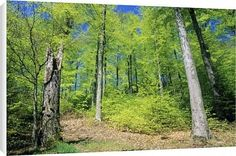 Canvas Prints of Beech Forest - in spring time from Ardea Wildlife Pets $64.95