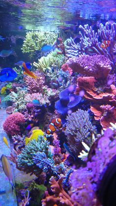 Click this image to show the full-size version.:separator:Click this image to show the full-size version. Coral Reef Aquarium, Saltwater Aquarium Fish, Marine Aquarium, Coral Reefs, Beautiful Sea Creatures, Underwater Life, Underwater Animals, Salt Water Fish, Ocean Wallpaper