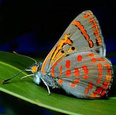 Australia's has live displays of butterflies and moths in Butterfly Houses, Farms, Sanctuaries. Find out about these wonderful attractions and their location.