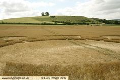 Battlesbury Hill, Near Warminster, Wiltshire, 5th of July 2017, Barley, close of of inner circle